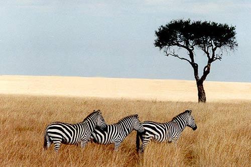 Kenya - Zébres
