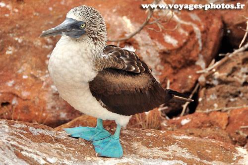 Galapagos - Oiseaux