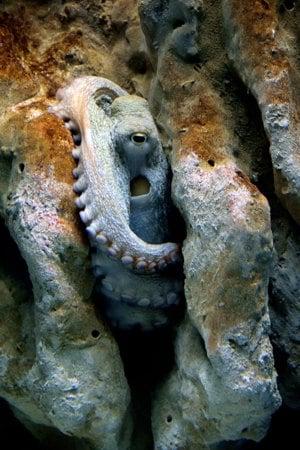 poulpe-cretaquarium