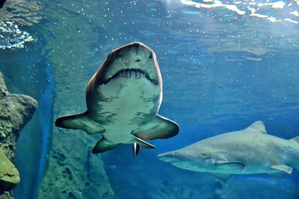 requin-cretaquarium