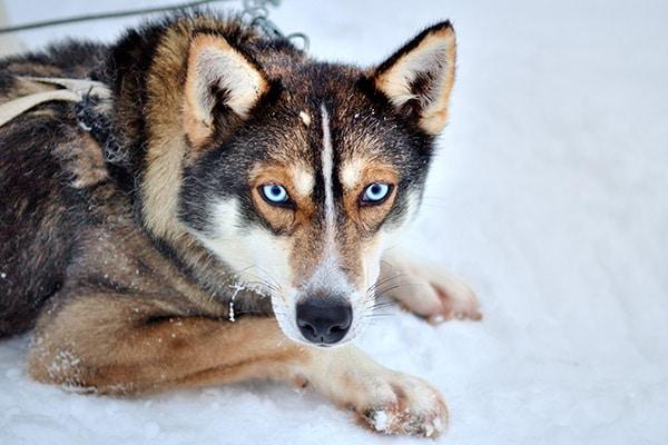 chien-yeux-bleus