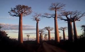 Madagascar - baobab