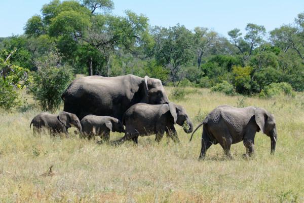 Afrique du Sud - Troupeau d'éléphants