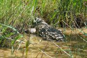 Crocodile en Afrique du Sud