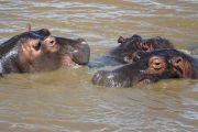 Hippopotame en Afrique du Sud